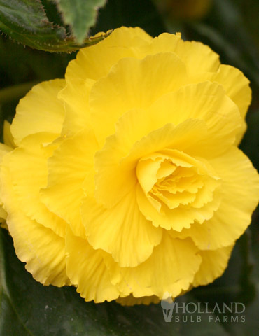 Ruffled Yellow Begonia - 71110