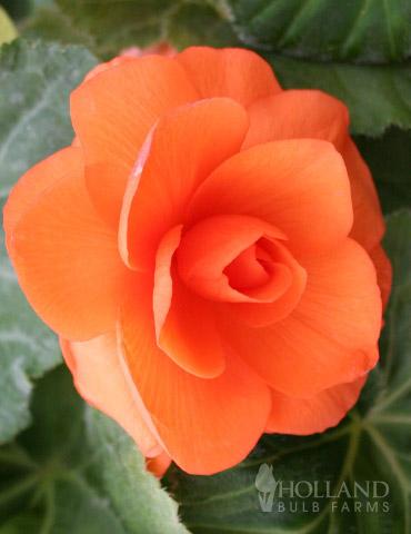 Apricot Roseform Begonia
