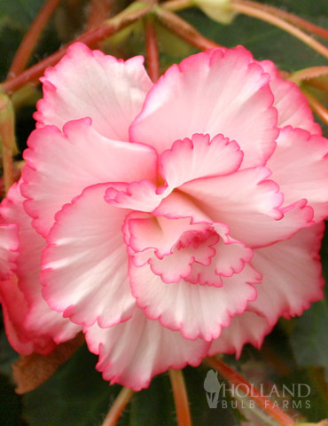 White and Red Picotee Begonia