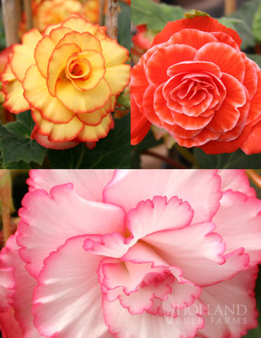 Picotee Begonia Collection
