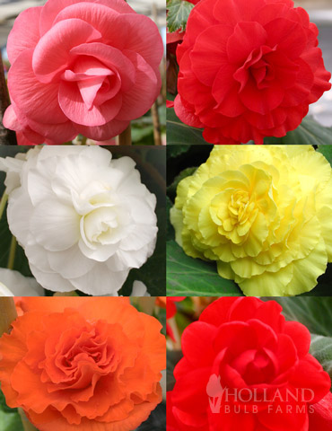 Double Begonia Collection