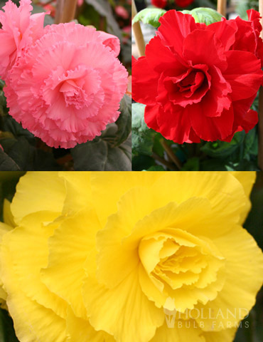 Ruffled Begonia Collection - 71125