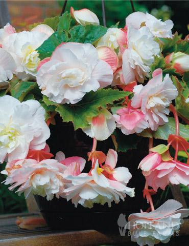 Angelique Begonia