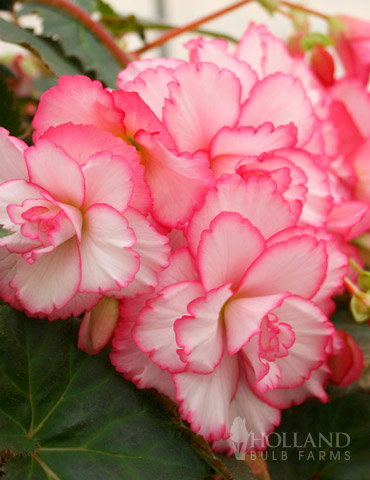 Bouton de Rose Double Begonia