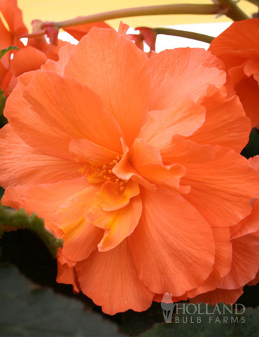 Orange Hanging Basket Begonias