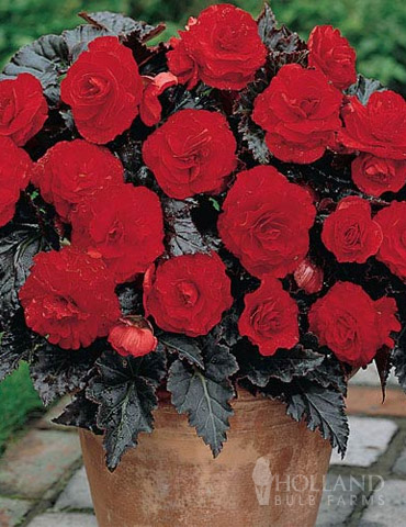 Dark Leaf Red Begonia