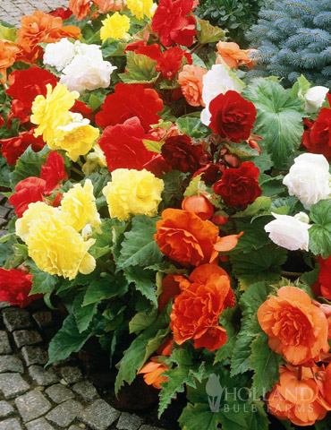 Mixed Double Begonias Value Bag