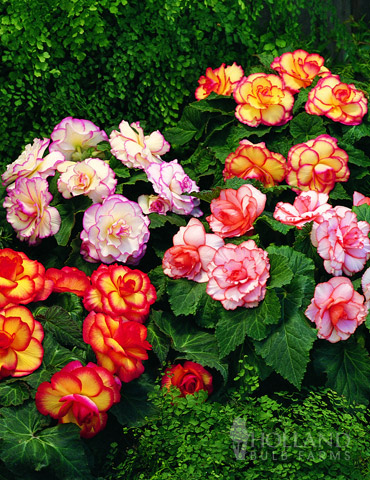 Mixed Picotee Begonias