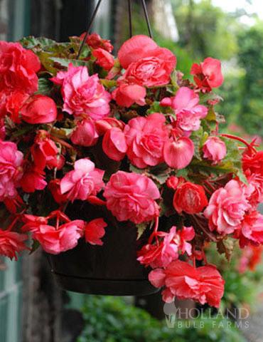 Pink Hanging Basket Begonia