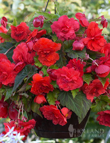 Red Hanging Basket Begonia