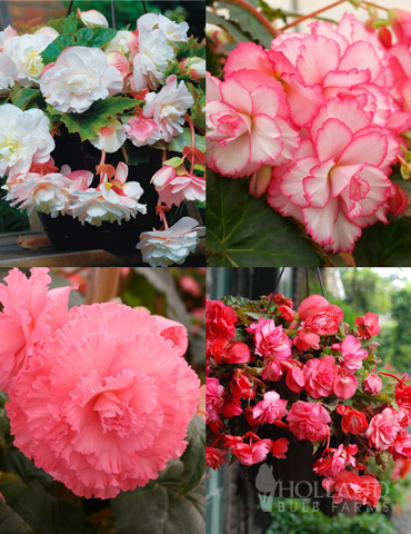Pretty Pink Porch Begonia Collection