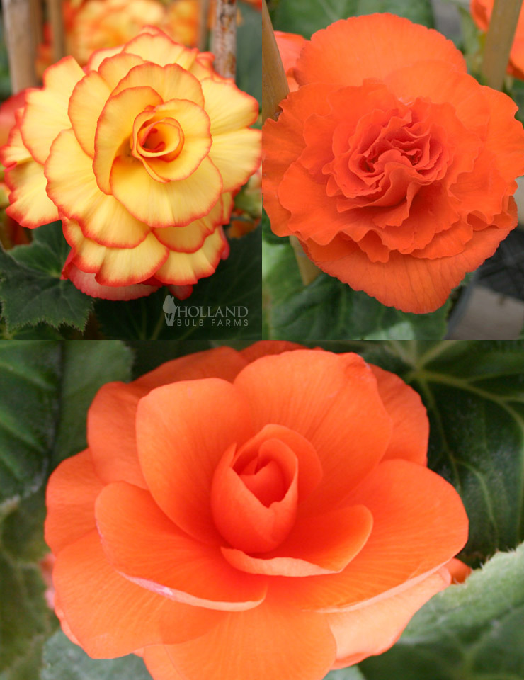 Dreamy Creamy Orange Begonias