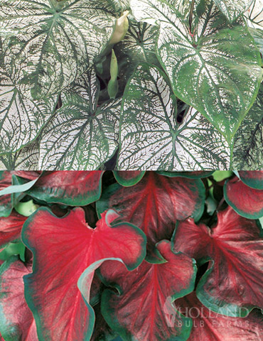 Red and White Caladium Collection