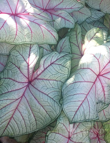Summer Breeze Caladium