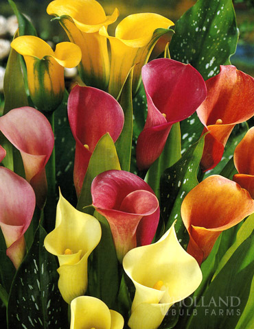 Hybrid Calla Lilies Mixed Value Bag - 73101