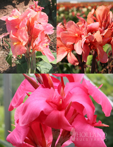 Pink Canna Collection