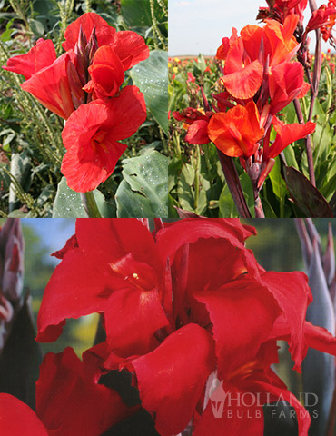 Red Hot Canna Collection