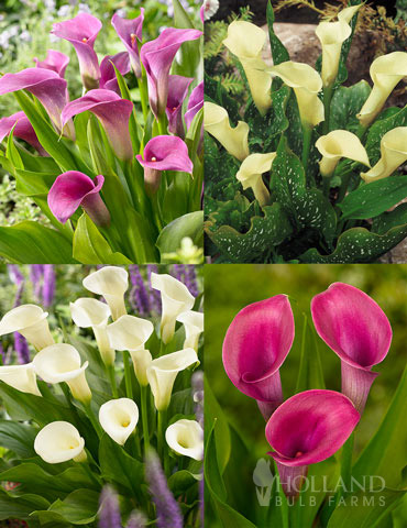 A Ladys Favorite Calla Collection