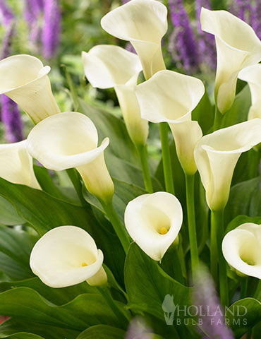 Intimate Queen Calla Lily