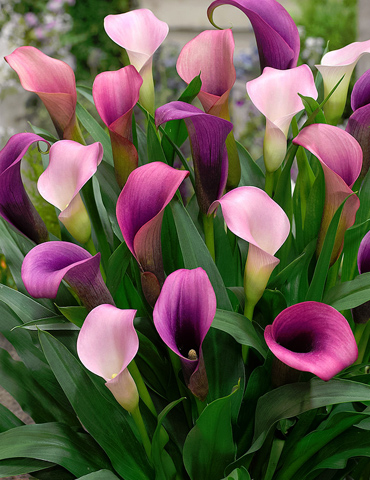 pasja calla lily holland bulb farms 73173