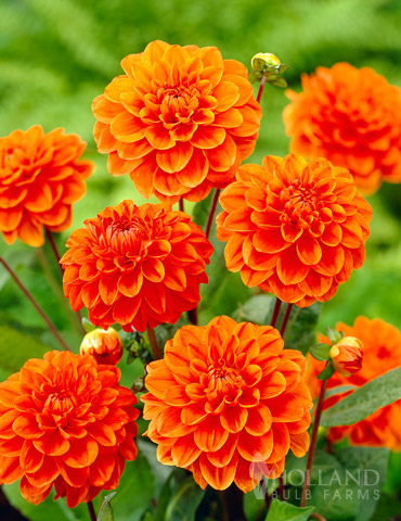 Orange Nugget Border Dahlia