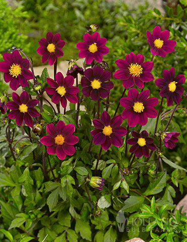 Top Mix Purple Miniature Dahlias