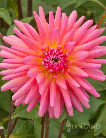 Pink Corona Dahlia Jumbo Pack