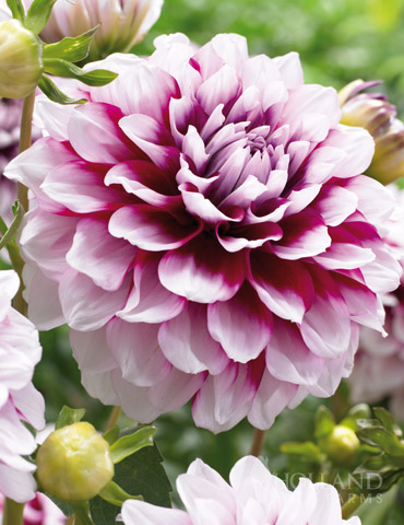 Edinburgh Decorative Dahlia - 74193