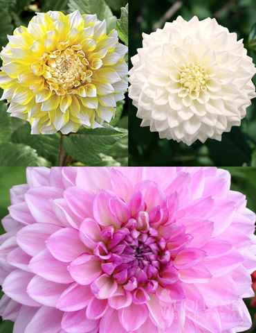 Fairys Touch Dinnerplate Dahlia Garden