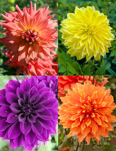 Bold Dinnerplate Dahlia Collection