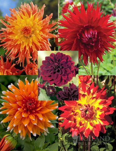 Sunset Dahlia Collection - 74203