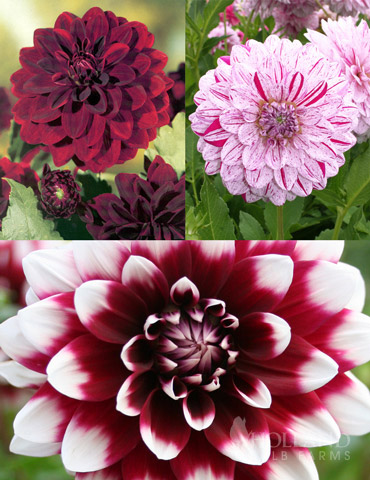 Peppermint Dream Dahlia Collection