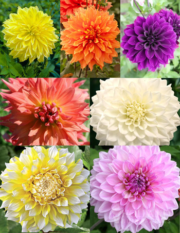 Ultimate Dinnerplate Dahlia Collection - 74207