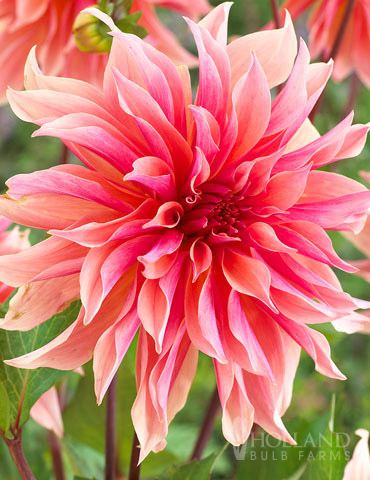 Labyrinth Decorative Dahlia