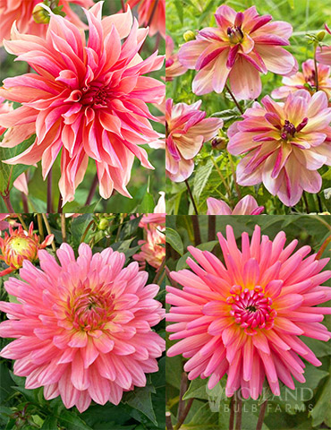 Princess Pinks Dahlia Collection