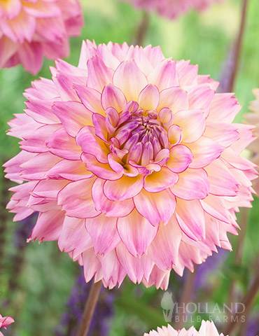 Colorful Investment Dahlia