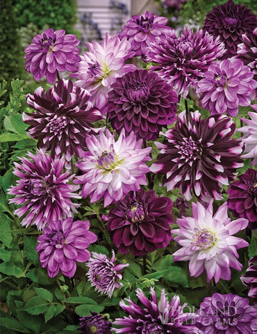 Midnight Party Dahlia Blend