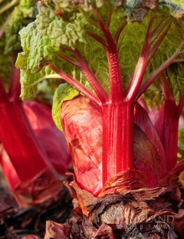 Crimson Red Rhubarb - 75147