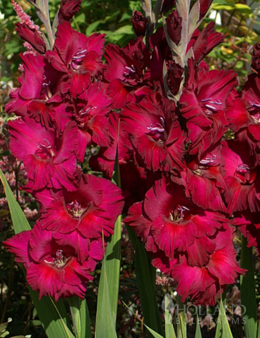 Black Surprise Large Flowering Gladiolus