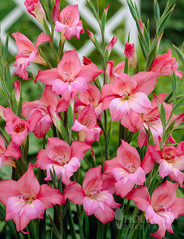 Charming Beauty Hardy Mini Gladiolus