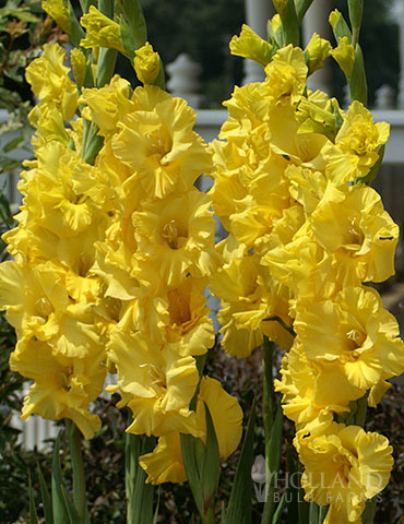 Yellow Gladiolus Value Bag
