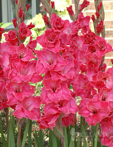 Pink Gladiolus Value Bag