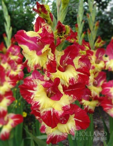 Stereo Gladiolus