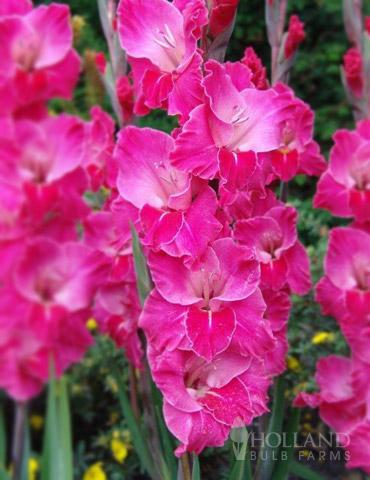 Fairytale Pink Gladiolus