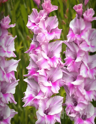 Zamora Gladiolus