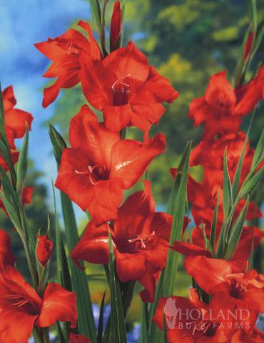 Mirella Hardy Mini Gladiolus - 76165