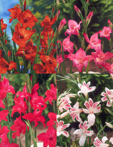 Hardy Mini Gladiolus Collection