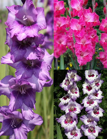 La Vista Pop Gladiolus Collection