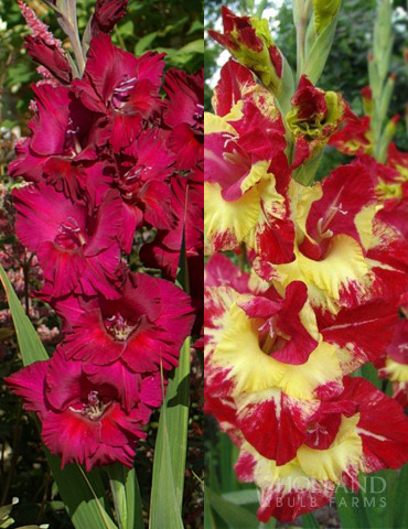 Tropical Drama Gladiolus Collection