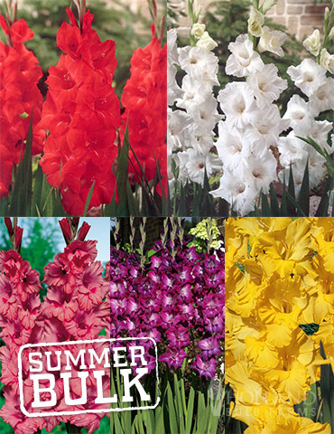 Ultimate Value Gladiolus Collection